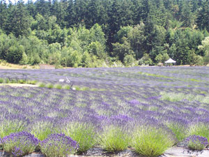Pelindaba Lavender Fields on San Juan Island